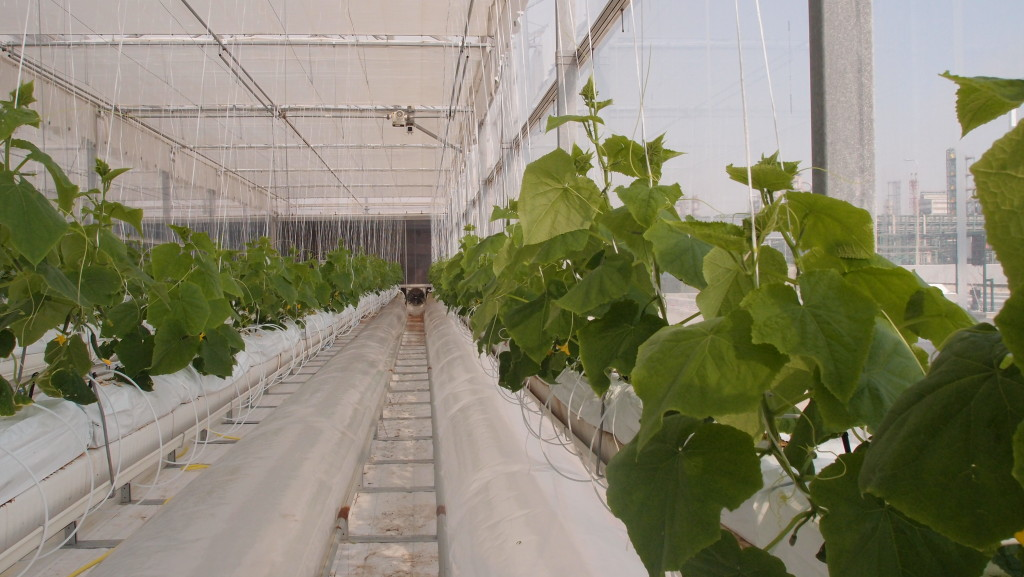 Cucumber crops inside the saltwater-cooled greenhouse